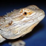 Lizards sleep in stages, claims new study