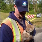 Coyote Pups Caught In Lacey Storm Drain Rescued By City Worker