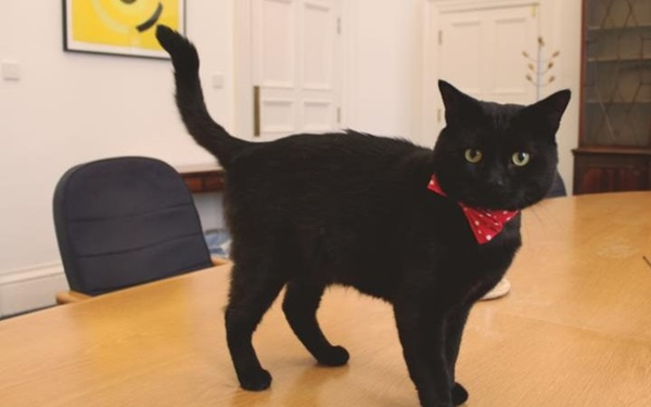 Gladstone British cat