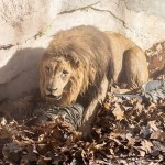 Spain Lion Mauled Cop: Man Jumps Barcelona Zoo Enclosure, Gets Attacked By Lions