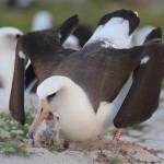 Wisdom Albatross pic