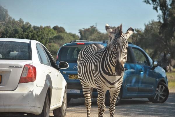 zebra attacks man white county